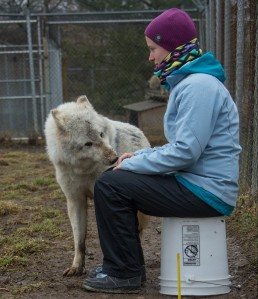 HAI Researcher conducting a sociability test at Wolf Park